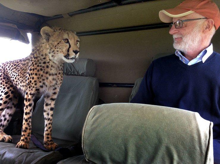 Cheetah Shocks Tourist in Kenya