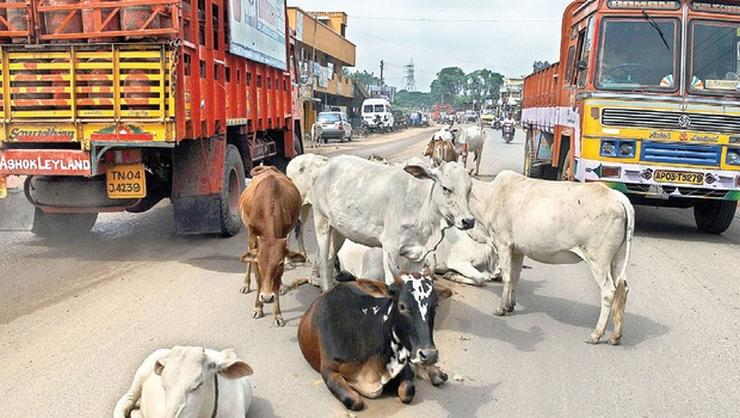 Stray cattle on Indian roads