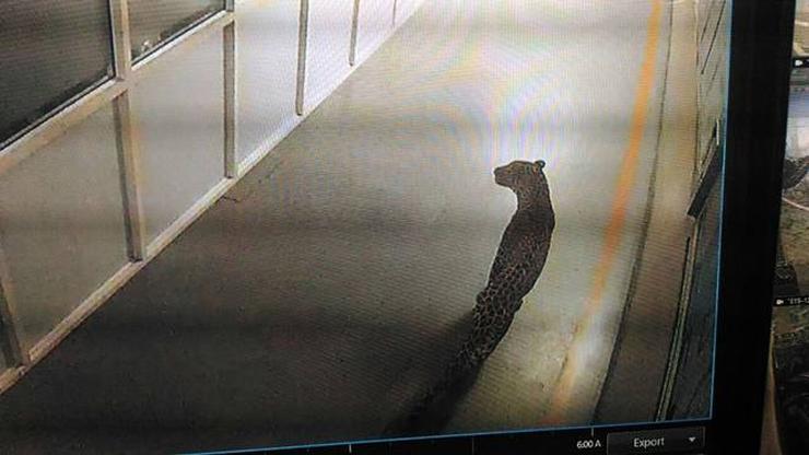 Leopard in Maruti Suzuki factory at Manesar