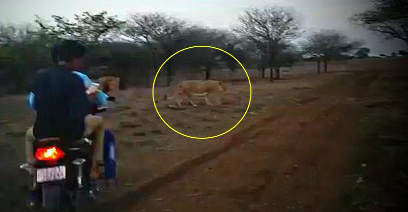 [Video] Bikers chase lions in Gir sanctuary; Arrested!