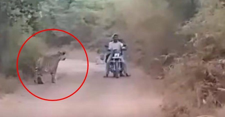 Bikers show nerves of steel when they get stuck between two WILD tigers [Video]
