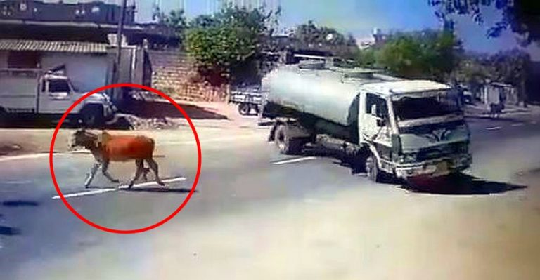 Truck Cow Featured