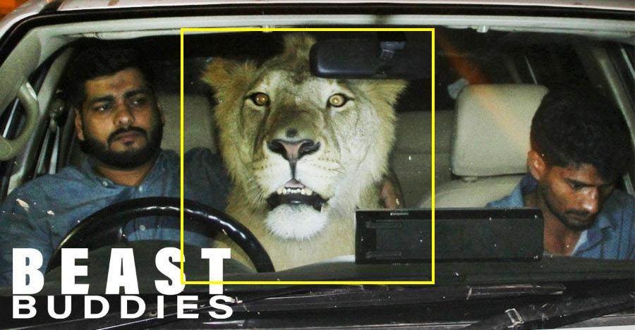 Lion in a Toyota pick up truck: Well, this is what it's like [Video]