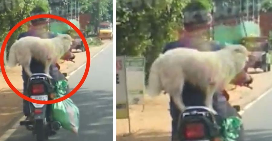 Man takes pet dog for a ride on his motorcycle: FINED! [Video]