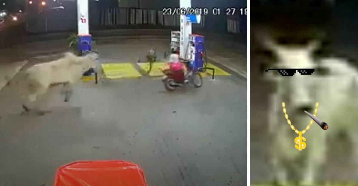 Raging bull attacks bikers & uproots a fuel pump