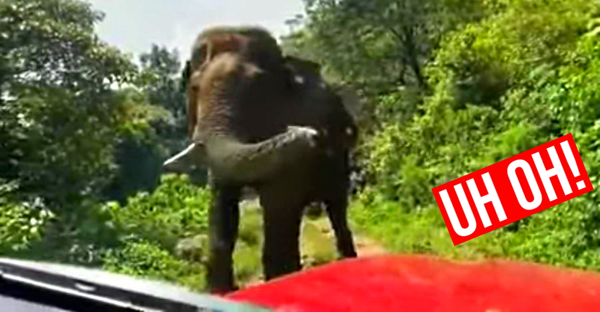 'High tension' moments when wild elephant meets SUV on narrow forest road